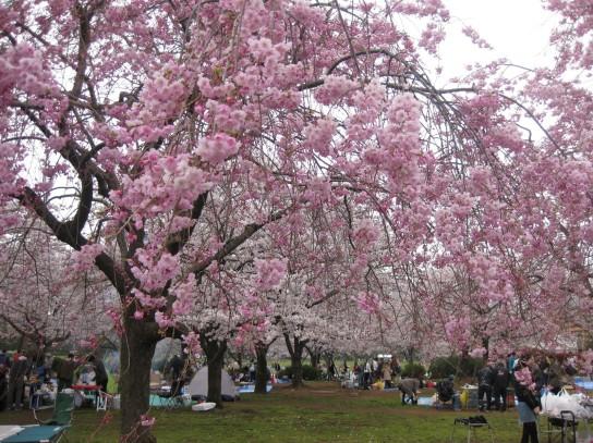 Hanami at Kiba Park