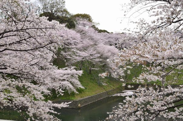 Cherry blossoms along the outer moat of Edo Castle.