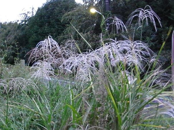 silvergrass