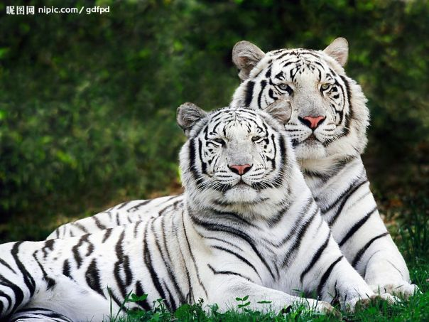 Real white tigers...