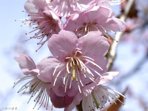 Tora no o is a kind of sakura (cherry blossom) but it's also a kind of flowering plant....