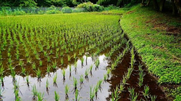 rice tamachi