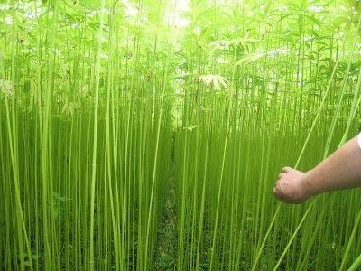 Japanese hemp.