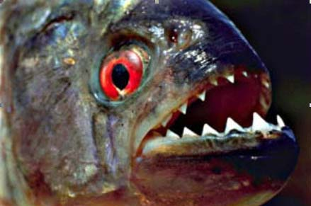 "Google ""piranha attack victim"" at your own risk."