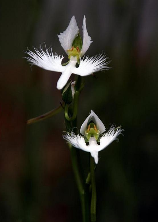 The fringed orchid is often associated with Setagaya Ward because of a version of Yoriyasu's legend. Unfortunately, we're not going to go into that part of the story today.