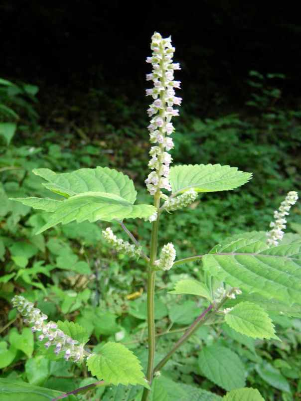 A flowering shiso plant