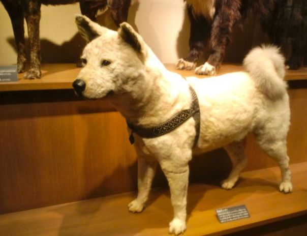 stuffed hachiko.jpg