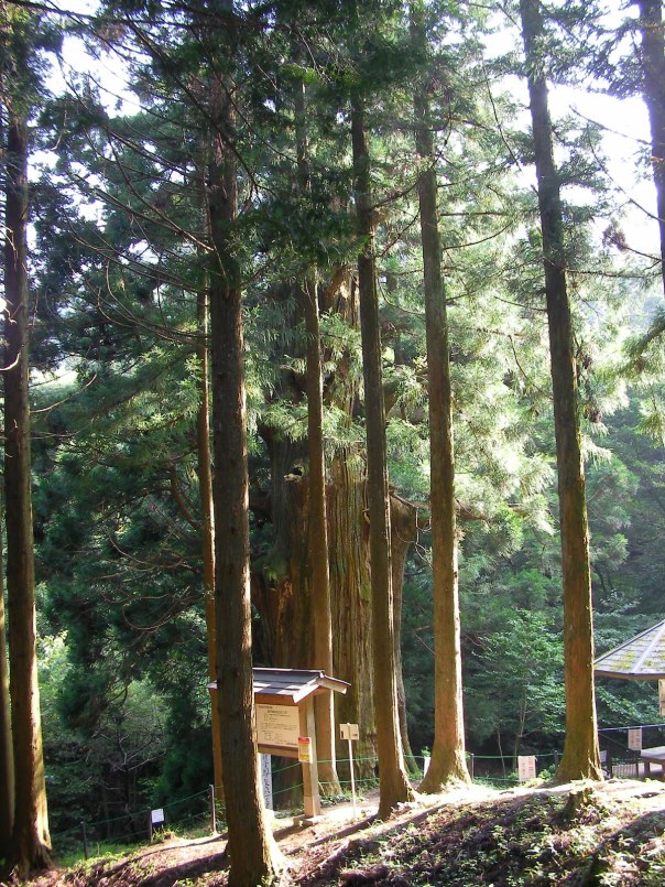 cedar tree japan