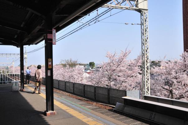 takaido sakura